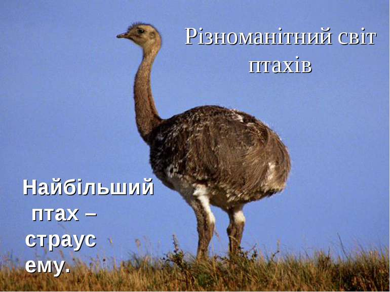 Різноманітний світ птахів Найбільший птах – страус ему.
