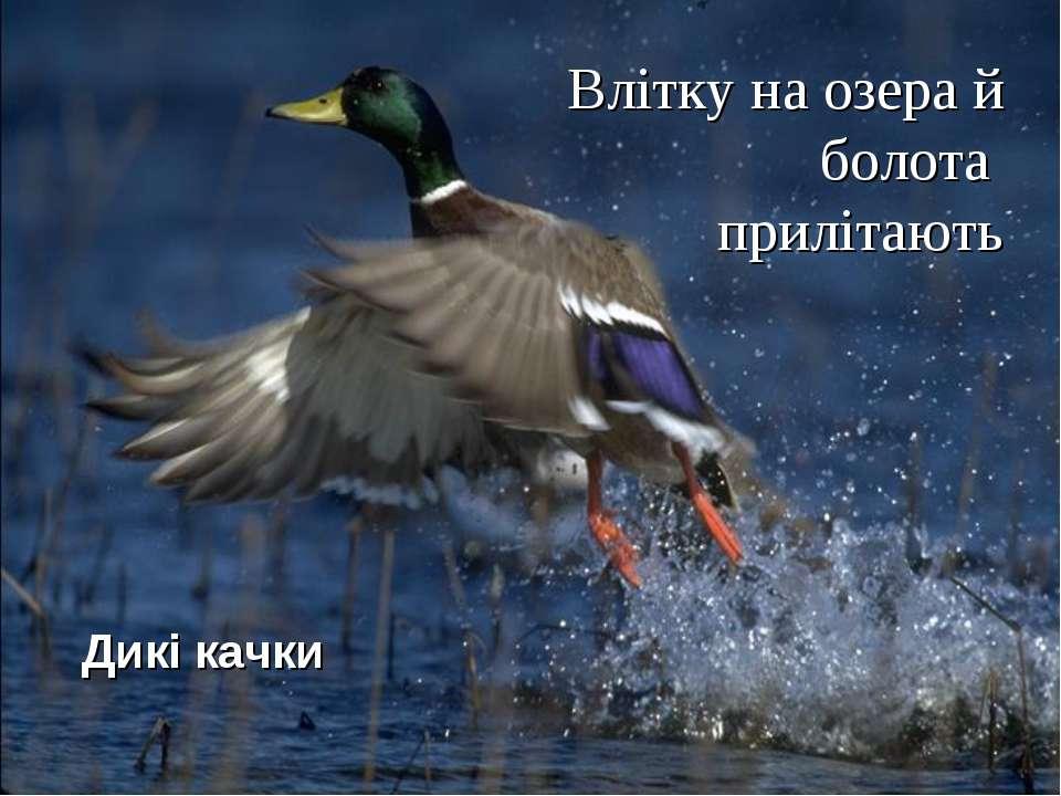 Влітку на озера й болота прилітають Дикі качки