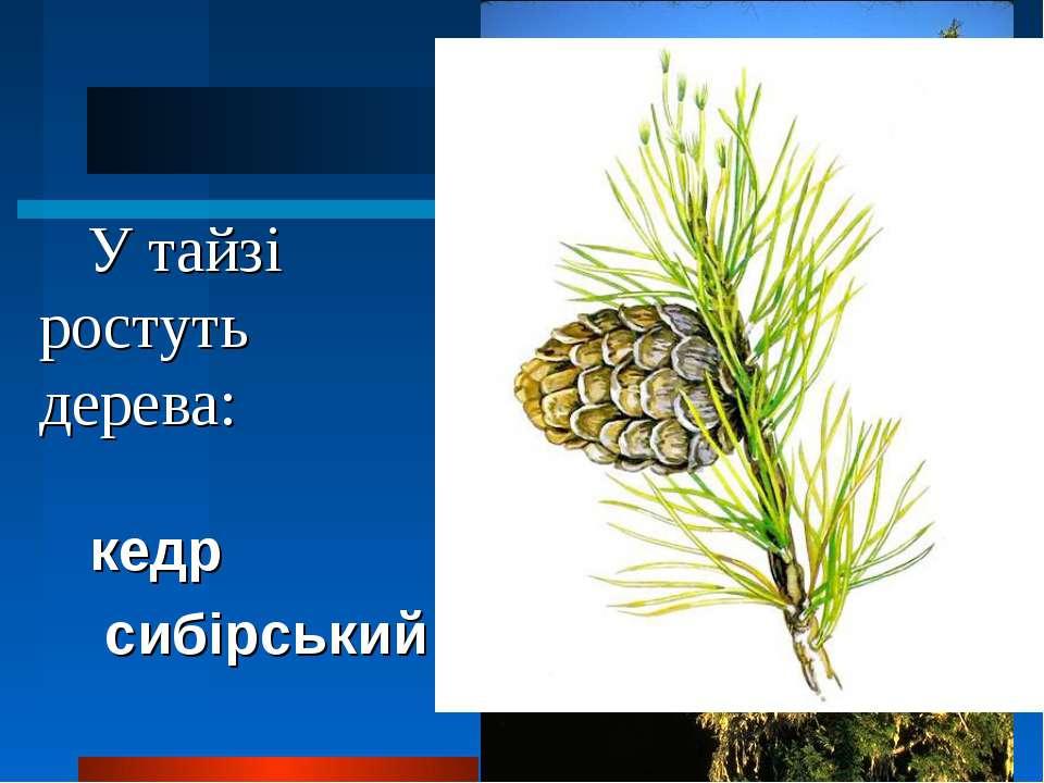 У тайзі ростуть дерева: кедр сибірський