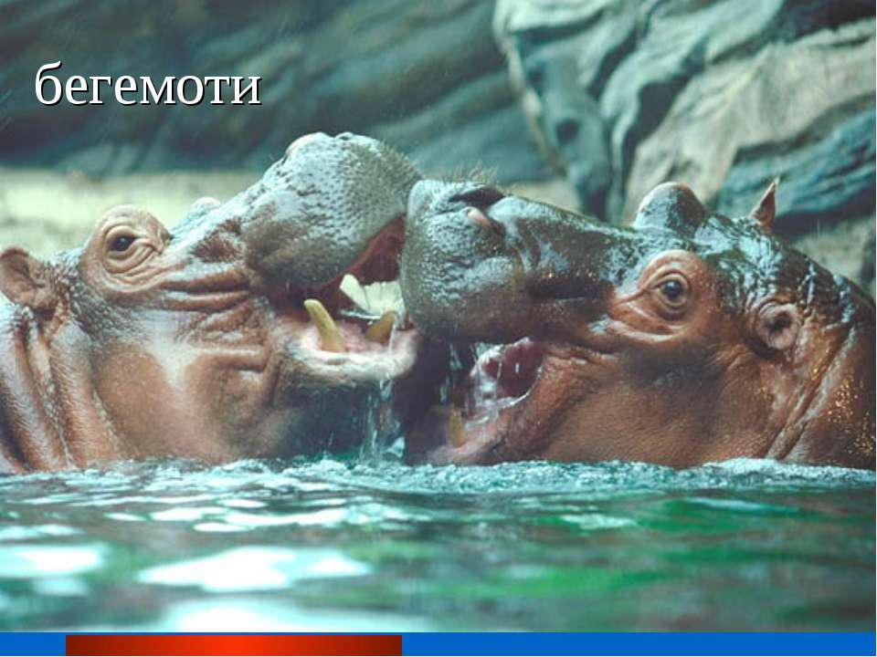 бегемоти