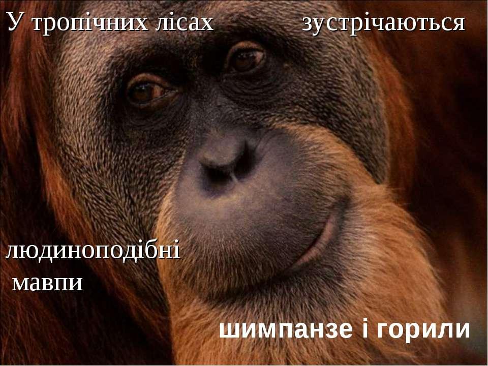 У тропічних лісах зустрічаються людиноподібні мавпи шимпанзе і горили