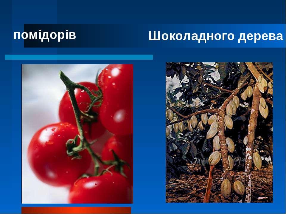 помідорів Шоколадного дерева