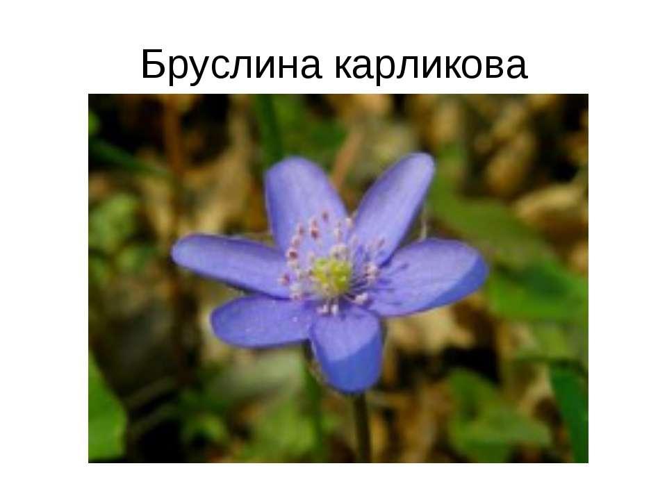 Бруслина карликова