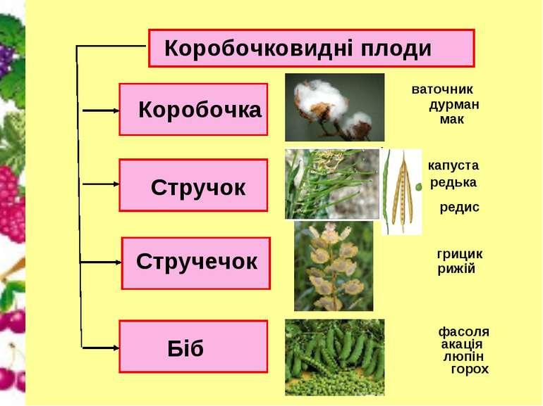 Коробочковидні плоди Коробочка Стручечок Стручок Біб дурман мак капуста редьк...
