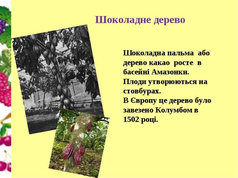 Шоколадне дерево Шоколадна пальма або дерево какао росте в басейні Амазонки. ...