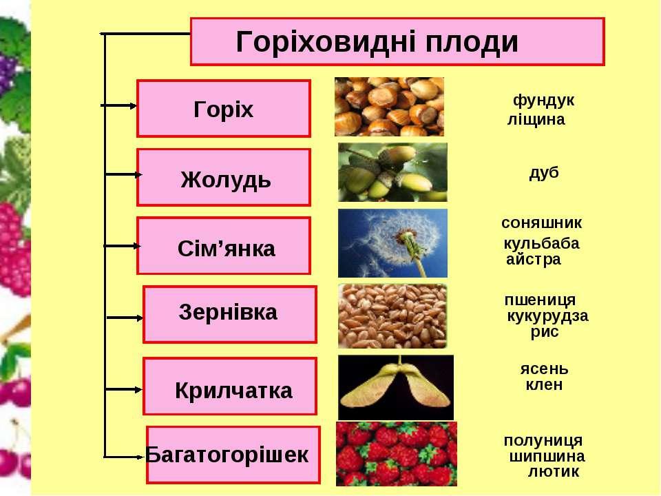 Горіховидні плоди Горіх Сім'янка Жолудь Зернівка Крилчатка Багатогорішек ясен...