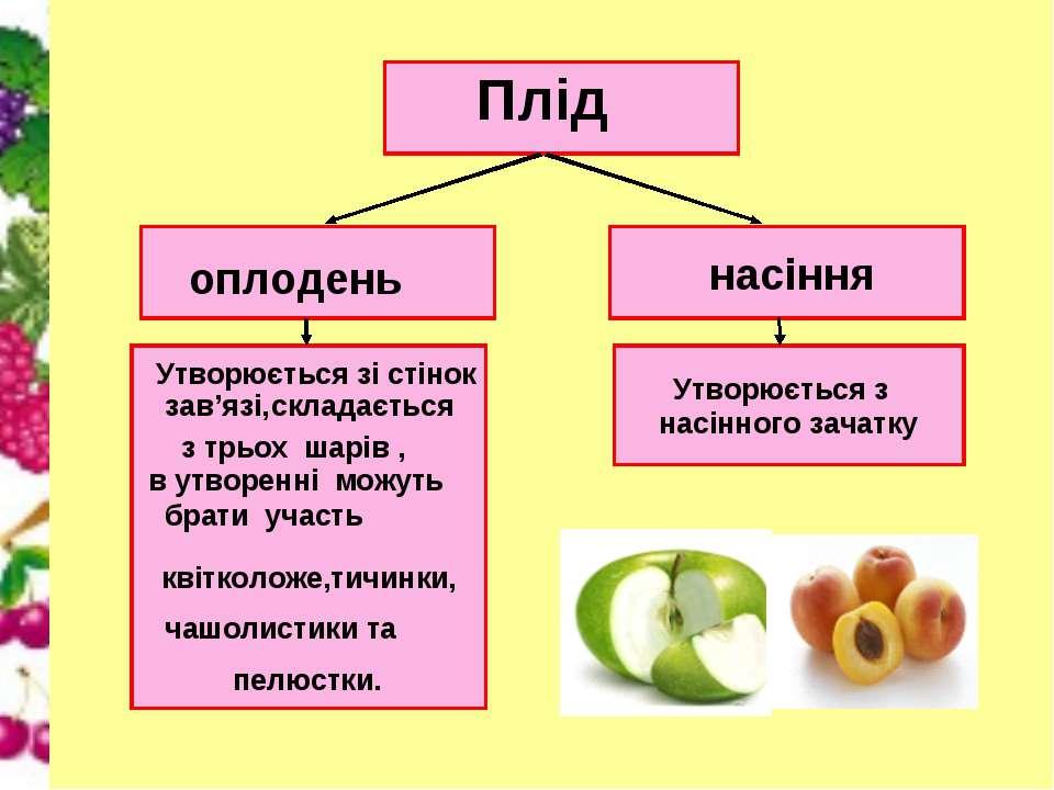 Плід оплодень насіння Утворюється зі стінок зав'язі, складається з трьох шарі...