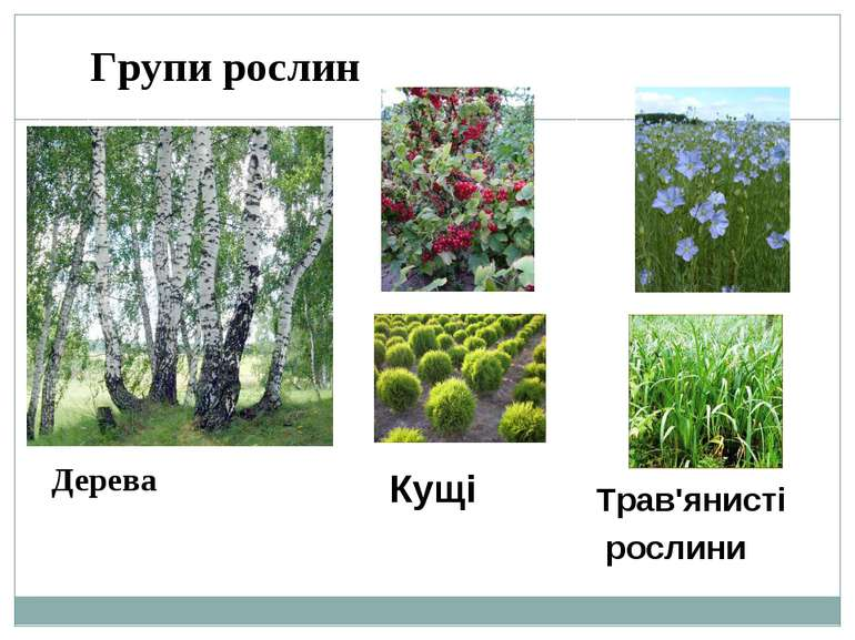 Групи рослин Дерева Кущі Трав'янисті рослини