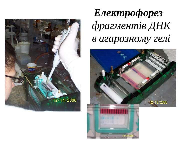 Електрофорез фрагментів ДНК в агарозному гелі