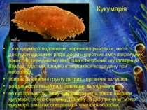Кукумарія Тіло кукумарії подовжене, корічнево-розовате, несе декілька подовжн...