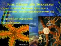 Клас Офіури, або Змієхвістки дуже схожі на морських зірок, але з променями, с...