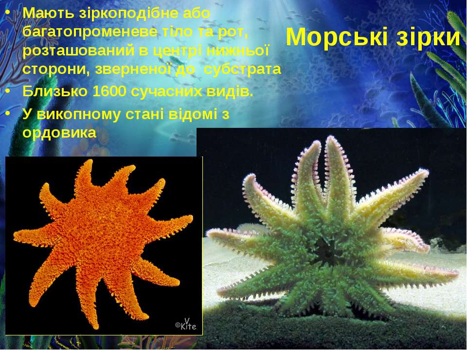 Морські зірки Мають зіркоподібне або багатопроменеве тіло та рот, розташовани...