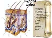 Будова шкіриБудова шкіри:1 — епідерміс; 2 — дерма;3 — підшкірна клітковина;4 ...