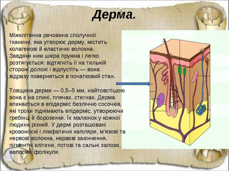 Міжклітинна речовина сполучної тканини, яка утворює дерму, містить колагенові...