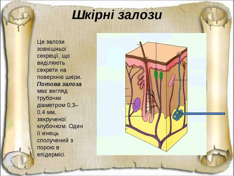 Це залози зовнішньої секреції, що виділяють секрети на поверхню шкіри. Потова...