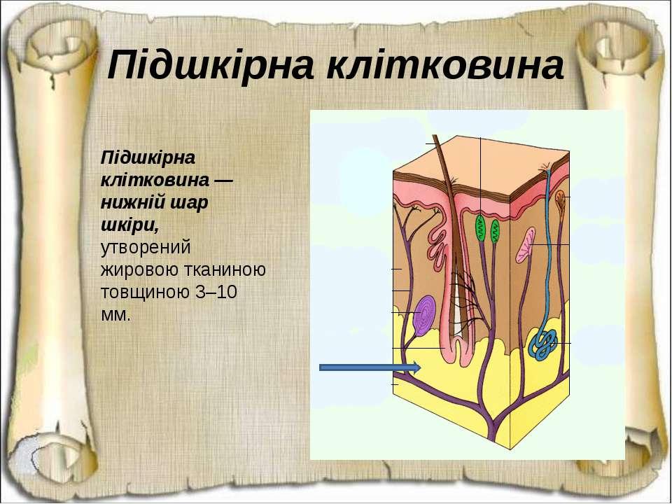 Підшкірна клітковина — нижній шар шкіри,утворений жировою тканиною товщиною 3...