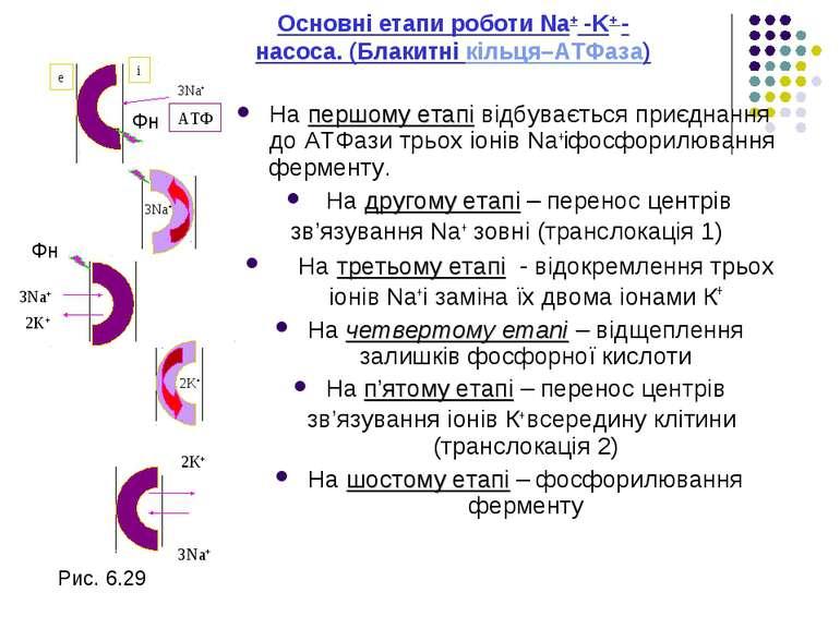Основні етапи роботи Na+ -K+ - насосa. (Блакитні кільця–АТФаза) На першому ет...