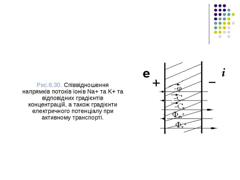 Рис.6.30. Співвідношення напрямків потоків іонів Na+ тa K+ та відповідних гра...