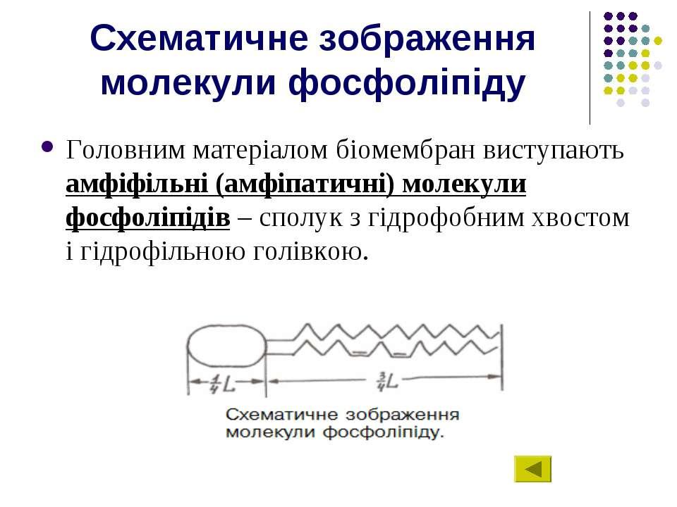 Схематичне зображення молекули фосфоліпіду Головним матеріалом біомембран вис...