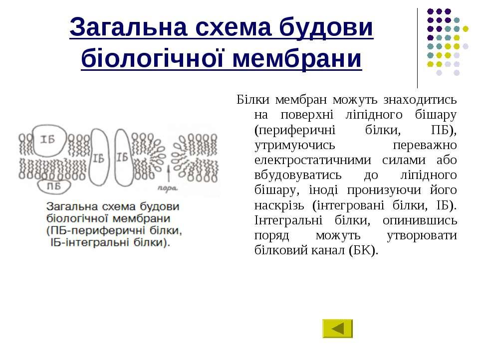 Загальна схема будови біологічної мембрани Білки мембран можуть знаходитись н...