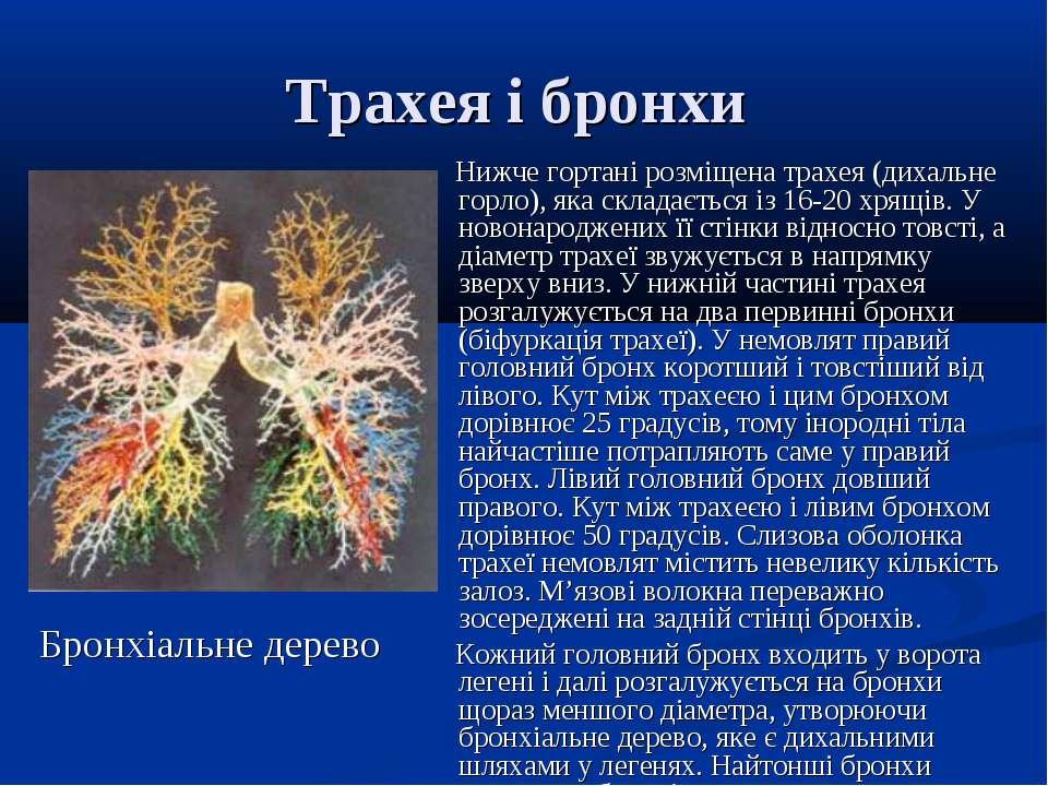 Трахея і бронхи Нижче гортані розміщена трахея (дихальне горло), яка складаєт...
