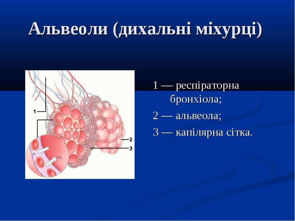 Альвеоли (дихальні міхурці) 1 — респіраторна бронхіола; 2 — альвеола; 3 — кап...