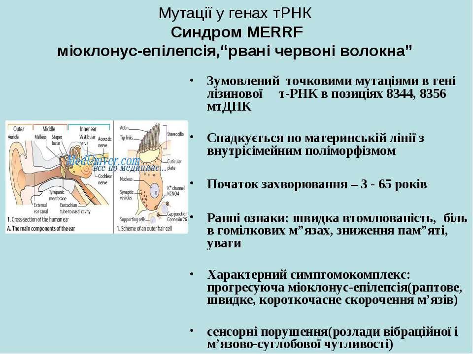 """Мутації у генах тРНК Синдром MERRF міоклонус-епілепсія,""""рвані червоні волокна..."""