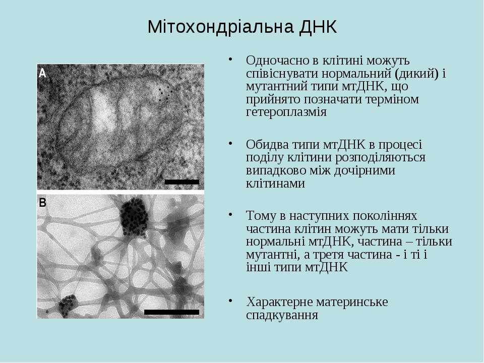 Мітохондріальна ДНК Одночасно в клітині можуть співіснувати нормальний (дикий...