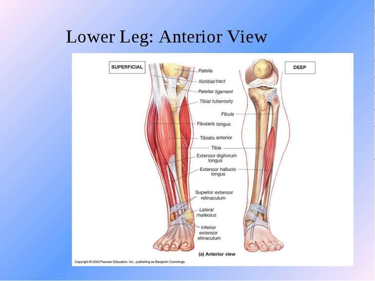 Lower Leg: Anterior View