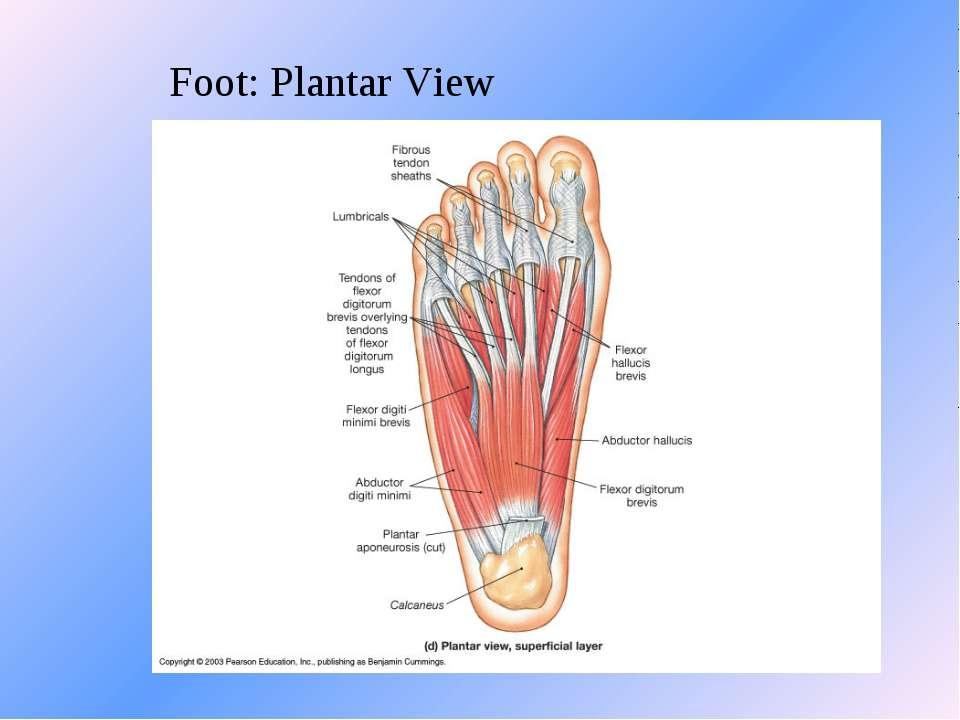 Foot: Plantar View