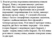 5. Власне ротова порожнина виповнена язиком (lingua). Язик у людини виконує д...