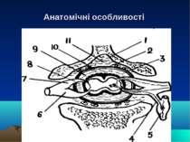 Анатомічні особливості