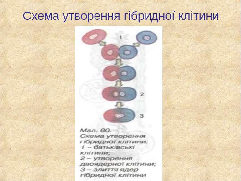 Схема утворення гібридної клітини