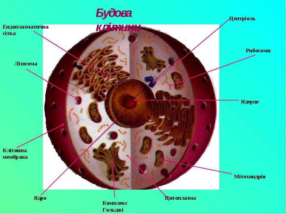 Ядерце Рибосоми Мітохондрія Ядро Клітинна мембрана Комплекс Гольджі Лізосома ...