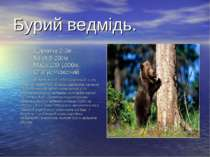 Бурий ведмідь. Довжина:2-3м. Хвіст:5-20см. Маса:100-1000кг. Статус:Рідкісний....