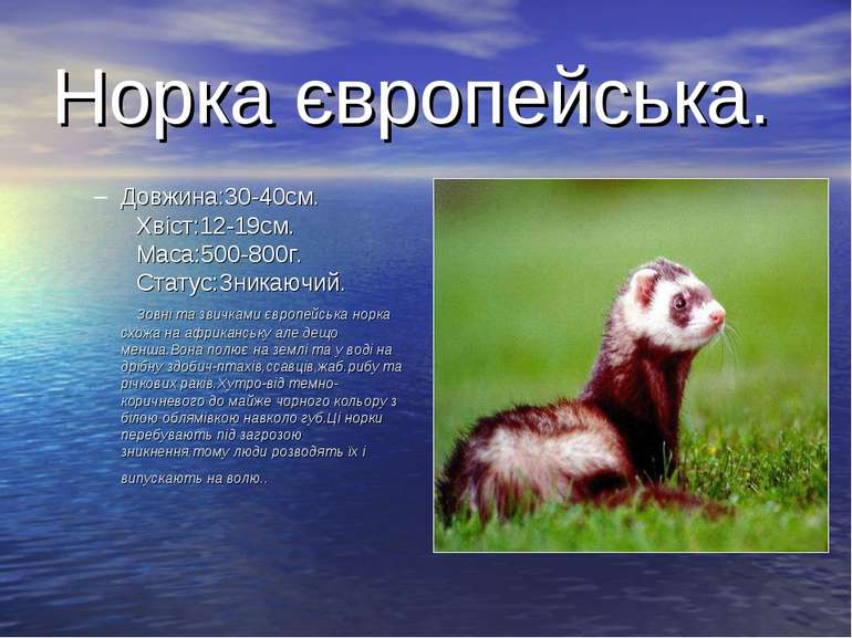 Норка європейська. Довжина:30-40см. Хвіст:12-19см. Маса:500-800г. Статус:Зник...