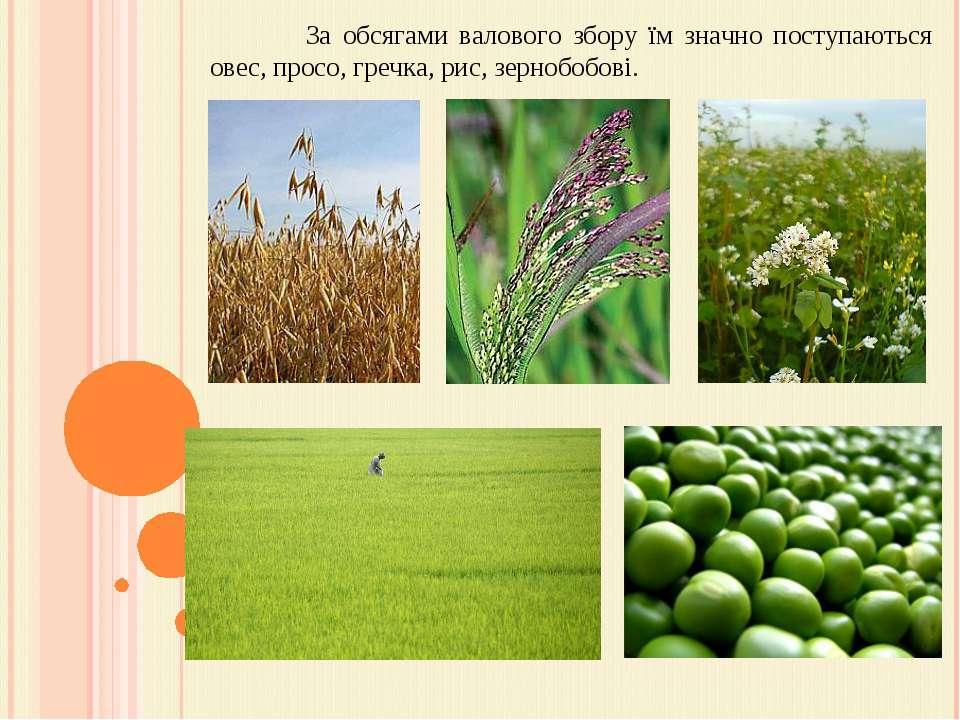 За обсягами валового збору їм значно поступаються овес, просо, гречка, рис, з...