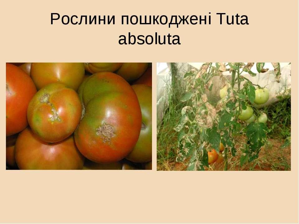 Рослини пошкоджені Tuta absoluta