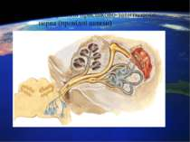 Формування присінково-завиткового нерва (провідні шляхи)