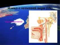 Язико-глотковий нерв (ІХ) рухові, чутливі, парасимпатичні
