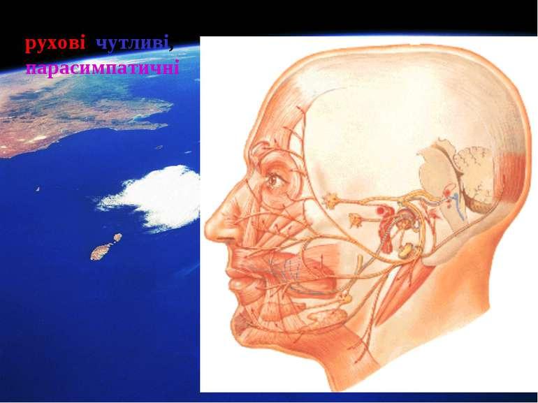 Лицевий нерв (VII) рухові, чутливі, парасимпатичні