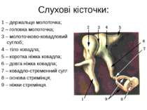 Слухові кісточки: 1 – держальце молоточка; 2 – головка молоточка; 3 – молоточ...