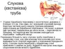 Слухова (євстахієва) труба З'єднує барабанну порожнину з носоглоткою; довжина...