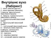 Внутрішнє вухо (Лабіринт) 1 - вікно завитки (кругле); 2 - вікно присінка (ова...