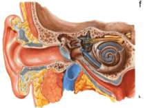 Anatomy of the Ear External Ear: Auricle External auditory meatus