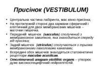 Присінок (VESTIBULUM) Центральна частина лабіринта, має вікно присінка; На пр...