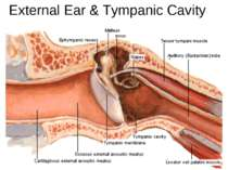 External Ear & Tympanic Cavity