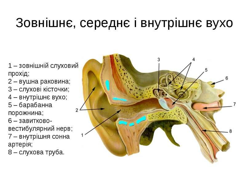 Зовнішнє, середнє і внутрішнє вухо 1 – зовнішній слуховий прохід; 2 – вушна р...