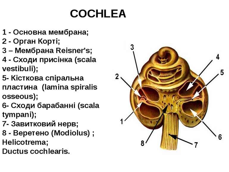 1 - Основна мембрана; 2 - Орган Корті; 3 – Мембрана Reisner's; 4 - Сходи прис...