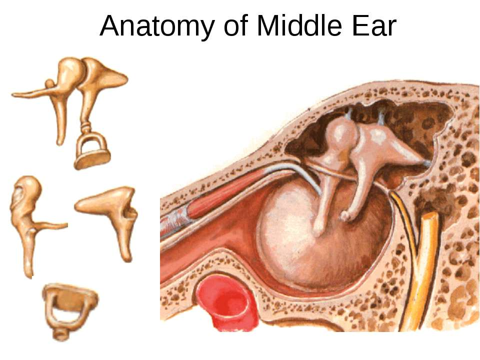 Anatomy of Middle Ear Lateral wall